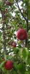 Apples ripe for scrumping