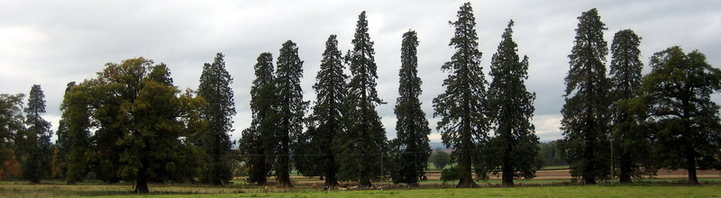 Tall conifers